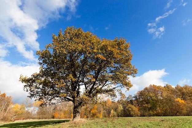 Сфотографированы деревья и природа осенью года, пожелтевшая растительность и дуб
