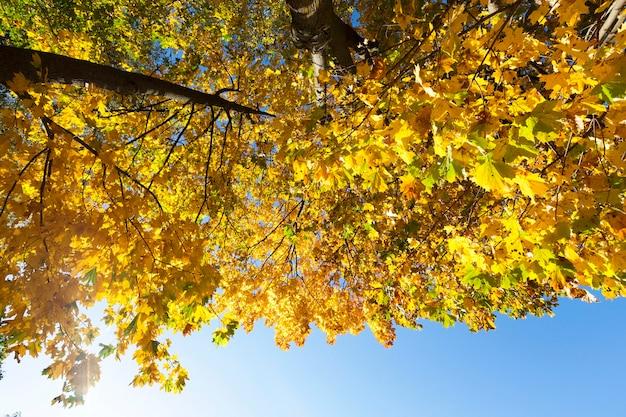 秋の木の上にある黄色いカエデの葉を撮影しました。場所-表面の青い空に駐車します。クローズアップで撮影した写真