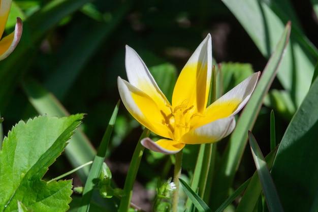 마을 정원에 있는 노란 백합 사진.