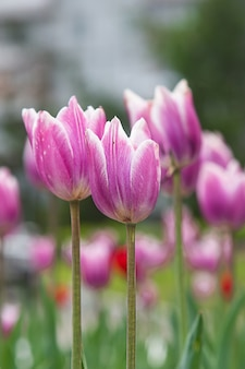 Photos of early spring flowers of tulips of different varieties and colors