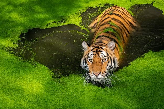 自然にトラの写真。