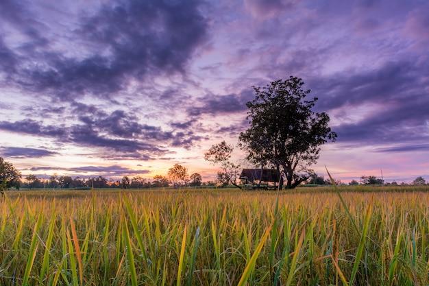 Photos of rice fields.