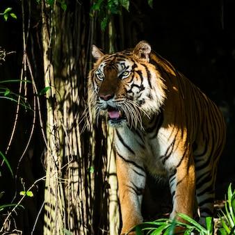 Photos of tiger naturally.