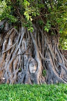 Phra buddha head attached to a tree, ayutthaya