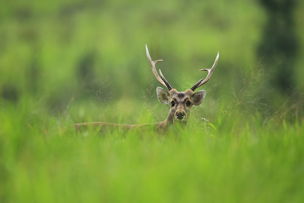プーキィアオ野生生物保護区チャイヤプーム県タイ