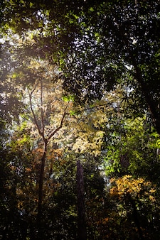 赤いカエデの葉。 phu kradueng loeiタイにて。