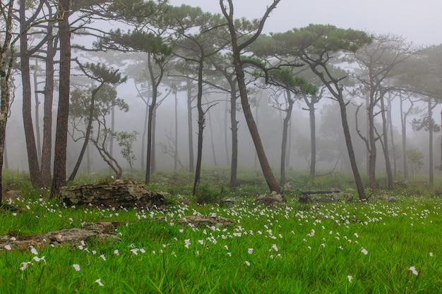 タイ、ルーイ県のphu-luangの松林における雨の花のフィールド