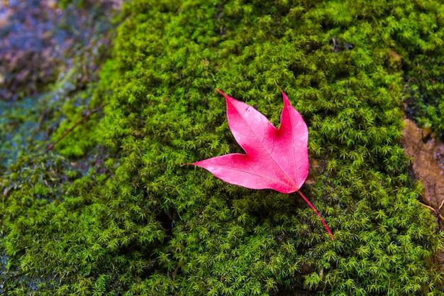 タイのphukradung国立公園でカエデの葉