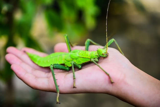 Phylliidae, green in the hand. phylliidae are shaped like leaves and patterns on the body that are similar to the leaves of leaves.