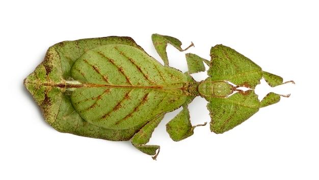 Phyllium bioculatum, листовое насекомое или прогулочный отпуск, phylliidae,