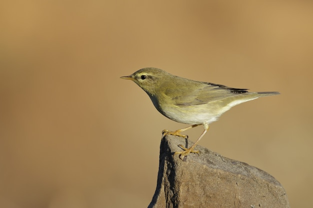 A phylloscopus trochilus, willow warbler bird perched on a branch