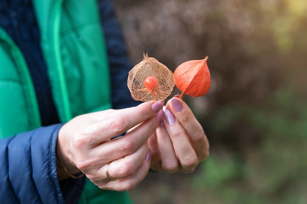 Плоды physalis peruviana, спелая золотая ягода с сухими листьями в женских руках.
