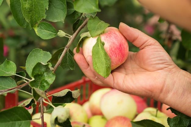 庭で熟したリンゴを選ぶ