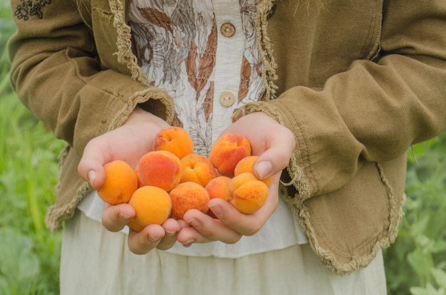 Picking apricots.  hands picks  apricots from a tree.