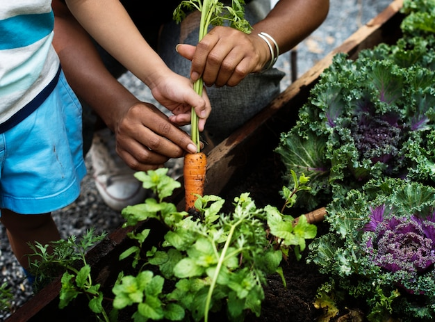 Picking a baby carrot in a garden