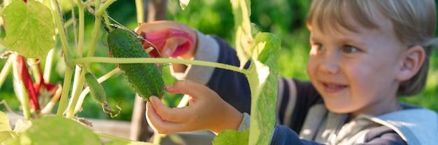 秋にきゅうりを収穫します。はさみで収穫する小さな男の子の手にキュウリ。バナー