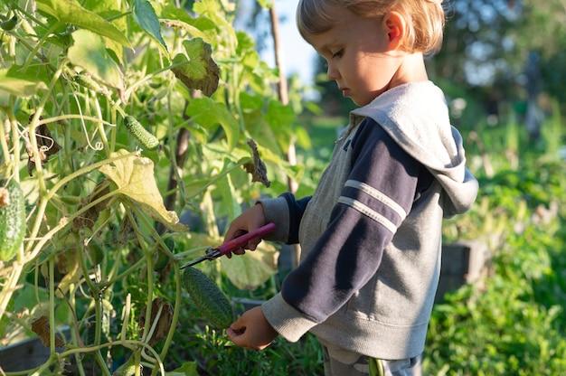 秋にきゅうりを収穫します。はさみで収穫する小さな男の子の手にキュウリ