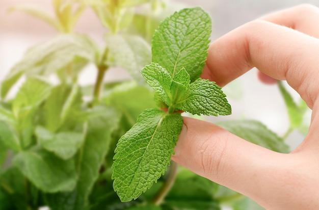 Picking fresh mint leaves close-up