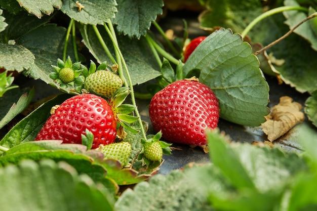 Сбор свежей клубники на ферме, крупным планом свежей органической клубники, растущей на лозе.