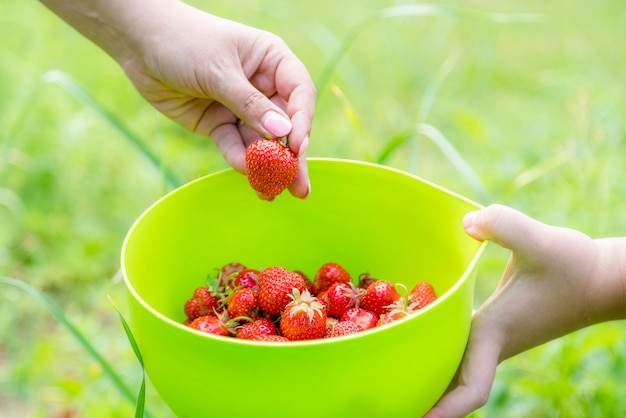 정원에서 집에서 재배 한 딸기 따기. 손에 유기농 딸기