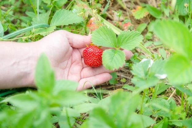 정원에서 집에서 재배 한 딸기 따기