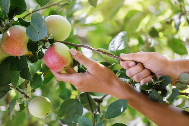 家の庭のクローズアップで熟したリンゴを選ぶ