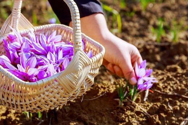 고리버들 바구니에서 사프란 따기. 꽃이 피는 동안 사프란 밭에 사프란 꽃.