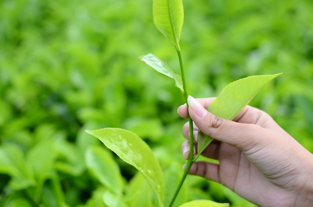茶畑で茶葉を摘む
