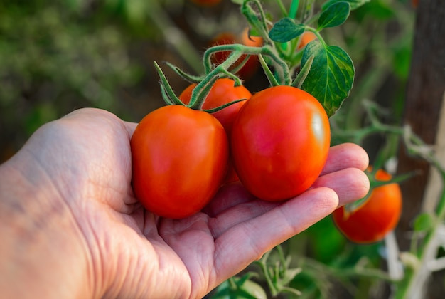 Picking tomatoes in a greenhouse. ripe tomatoes in the farmer's hand.