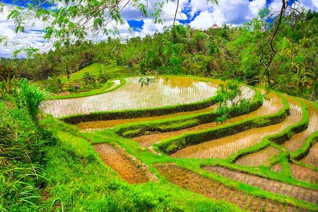 Живописные рисовые поля на острове бали
