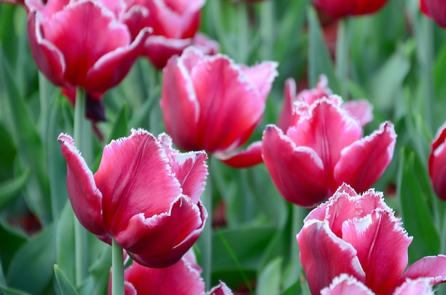 Picture of beautiful tulips on shallow deep of field close up