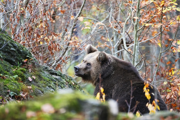 Picture of a brown bear in the bavarian forest surrounded by colorful leaves during autumn