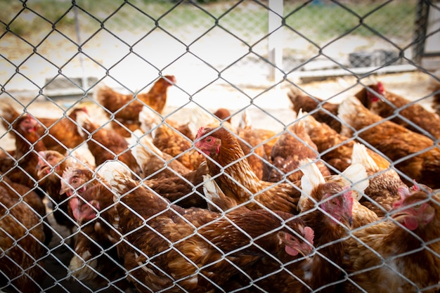 Picture of brown chicken hen in hens poultry farm. hungry chickens at free range behind the net.