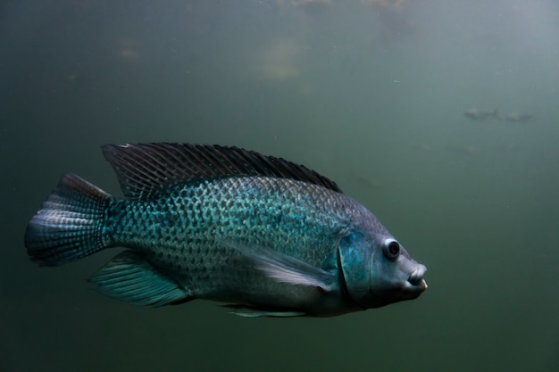 Picture of a full body fish swimming in an aquarium.