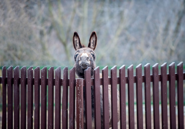 Picture of funny donkey, trying to stick its head out through the fence. winter afternoon