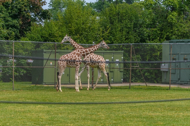 Picture of giraffes walking in a court surrounded by fences and greenery in a zoo