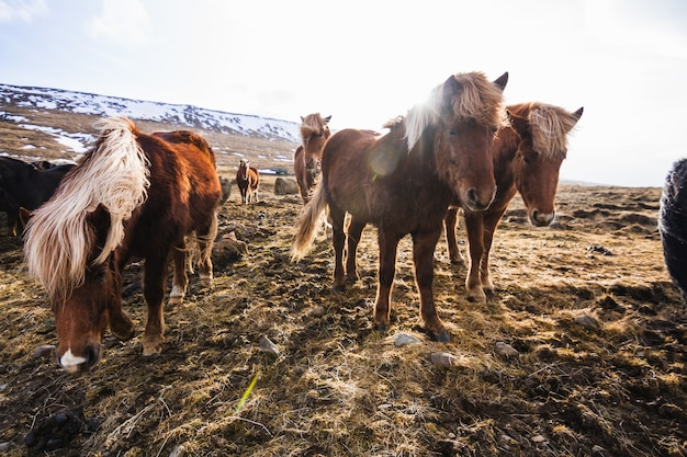Picture of icelandic horses walking through the field covered in the grass and snow in iceland