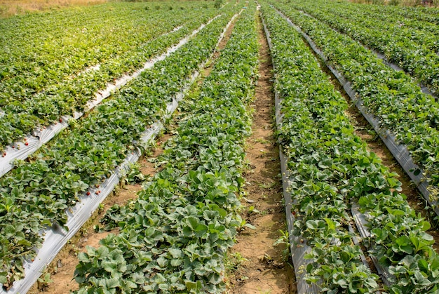 Picture landscape of strawberry farm in the northern of thailand