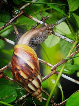 Picture of a large snail perched on a wire mesh.