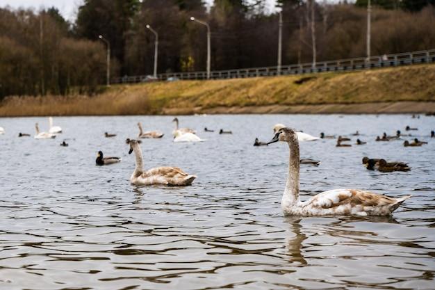 美しい白鳥とアヒルが川のそばの水に群がる写真。