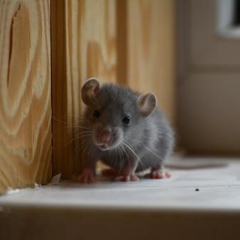 小さな灰色のネズミの写真