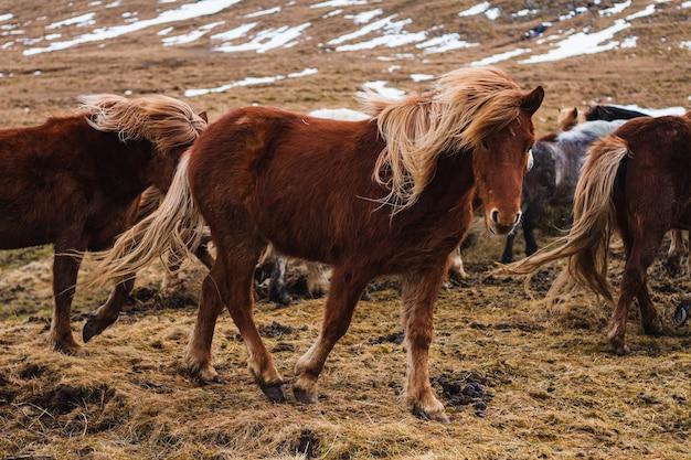 아이슬란드의 잔디와 눈으로 덮인 들판을 달리는 아이슬란드 말의 사진