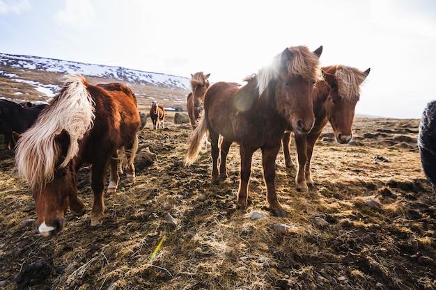 アイスランドの草や雪に覆われた野原を歩いているアイスランドの馬の写真
