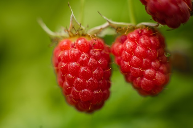 Picture of raspberry berries ripened on a branch in the forest. a few pink berries hang on a branch with blur background