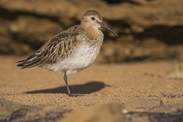Picture of a red-backed sandpiper on the sand at daytime