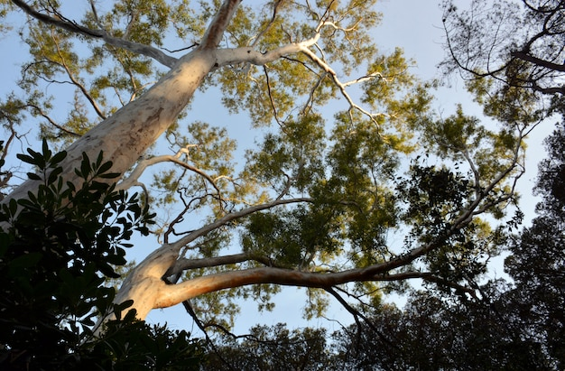 Picture of trees of eucalyptus trees