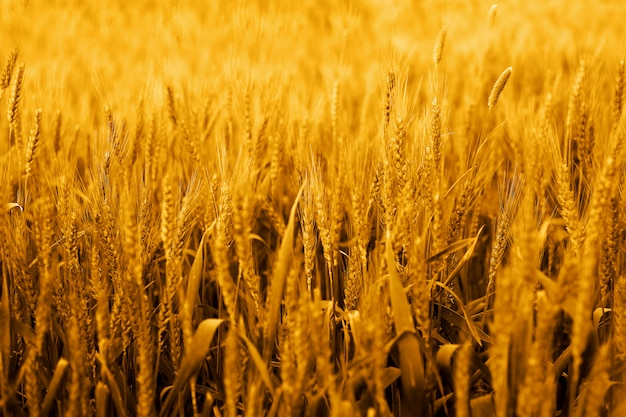 Picture of wheat fields for punjabi culture.
