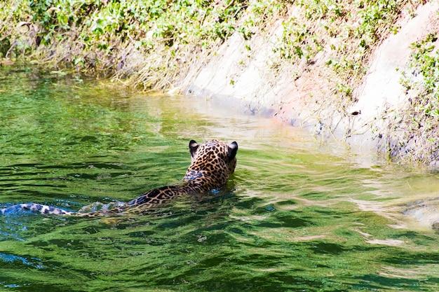 Фотографии леопардов, плавающих в воде.