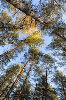 Живописный вид снизу вверх на разноцветные верхушки сосен ранней осенью.