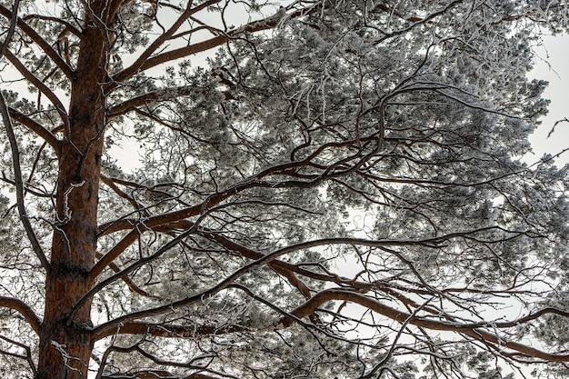 전나무 나무의 그림 같은 이미지. 서리가 내린 날, 차분한 겨울 장면. 광야의 멋진 전망.